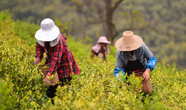 White Tea Picking – Spring Season Exclusive